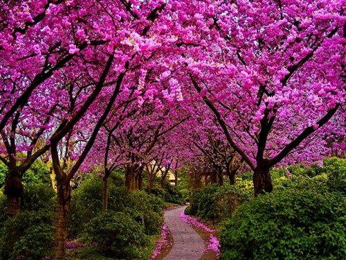 In Full Bloom Cheezburger Beautiful Gardens Jacaranda Tree Pink Trees