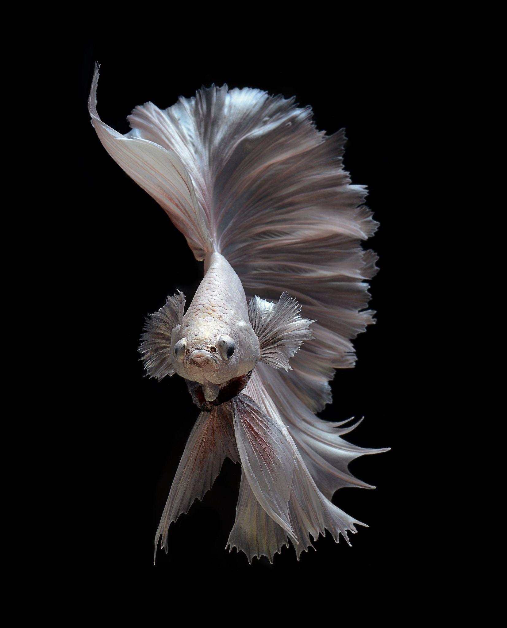 Ghost by visarute angkatavanich on 500px waterworld for Kampffische arten