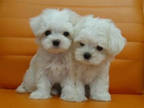 Maltese Two Is Better Than One Maltese Puppy Puppies Cute Dogs