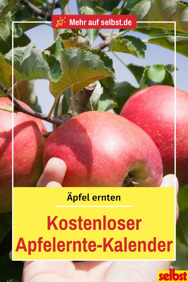 Wann Sind äpfel Reif : apfelernte apfelernte ernte und blaubeeren pflanzen ~ Watch28wear.com Haus und Dekorationen