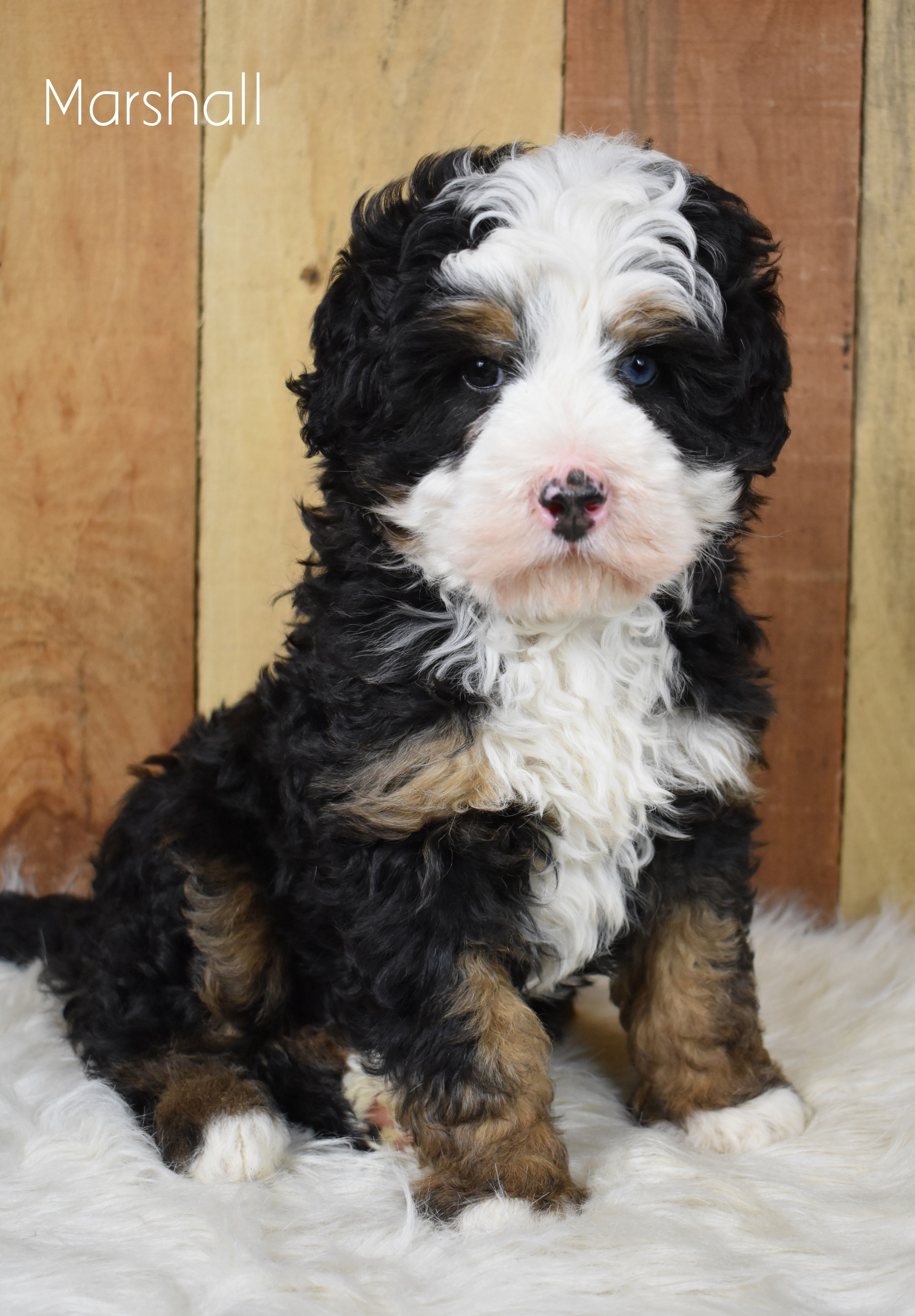 Check Out This Gorgeous Minibernedoodle That Will Meltyourheart With His Cuteness And His Sweet Temper In 2020 Bernedoodle Puppy Mini Bernedoodle Bernedoodle
