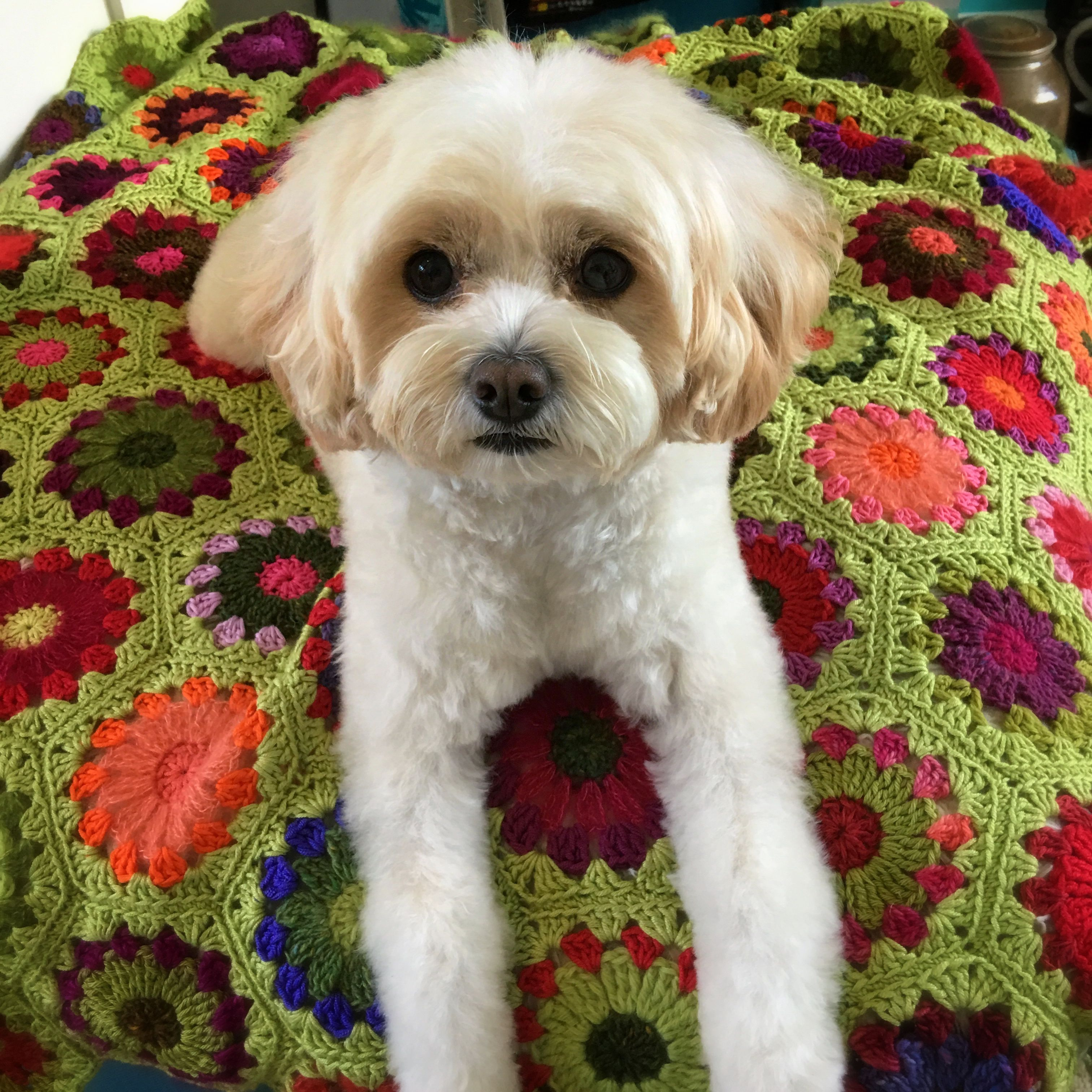 Pin by Julie Howells on MINNIE the Cavapoo Beautiful