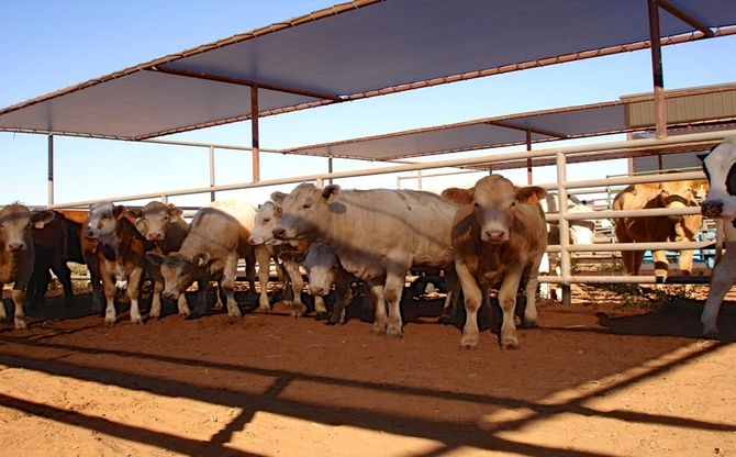 Beef Cattle Breeds Cattle Shade Door Canopy Porch