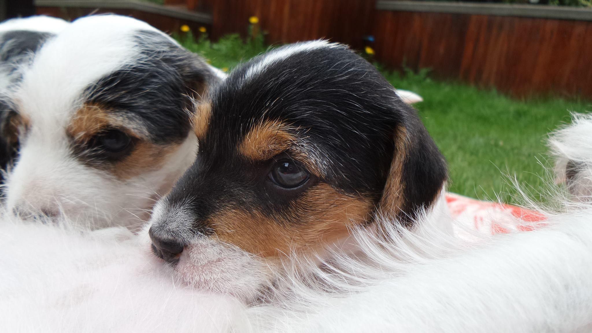 American Pitbull Puppies For Adoption American Pitbull Puppies