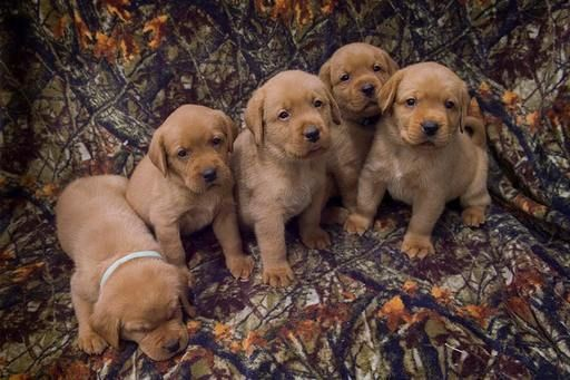 Litter Of 9 Labrador Retriever Puppies For Sale In Balsam Lake Wi