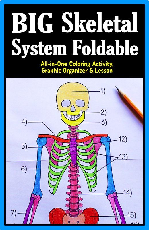 skeletal system foldable - big foldable for interactive notebooks, Skeleton
