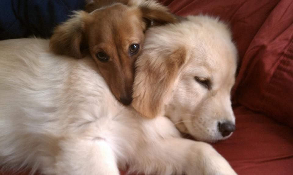 Long Haired Mini Dachshund And Golden Retriever Dogs And