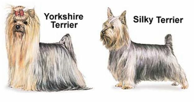 Differences Between Yorkshire Terrier And The Silky Terrier Wylie