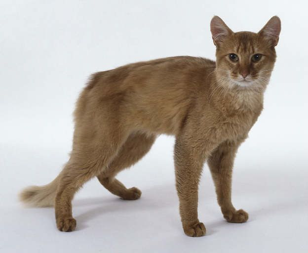 Cat Breeds A To Z Breeds Information On Cat Breeds From A To Z Home Cat Breeds Cat Cats Warrior Cats Cat Breeds