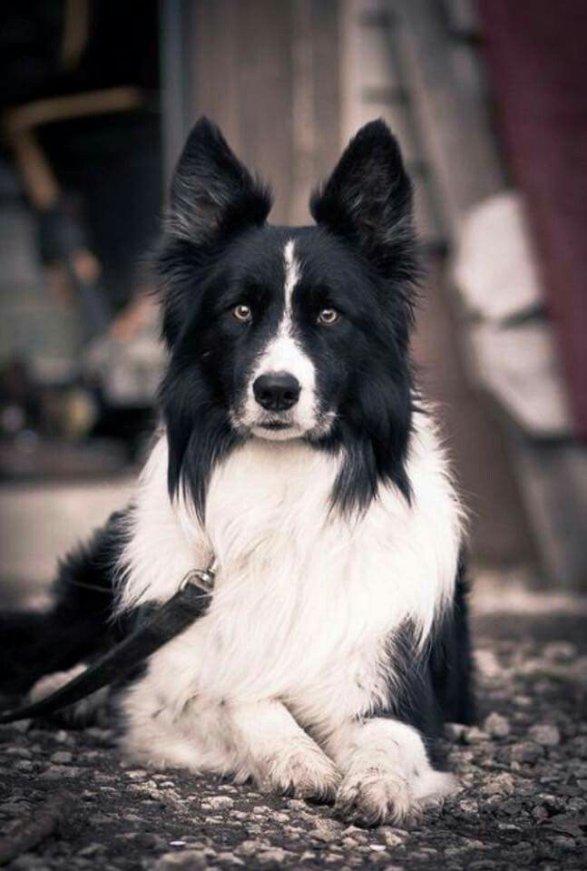 Drop Dead Beautiful Border Collie Dog Dog Breeds Dogs