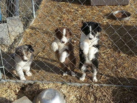 Border Collie Aussie Cross Puppies In Eugene Dogs And Puppies Puppies Border Collie