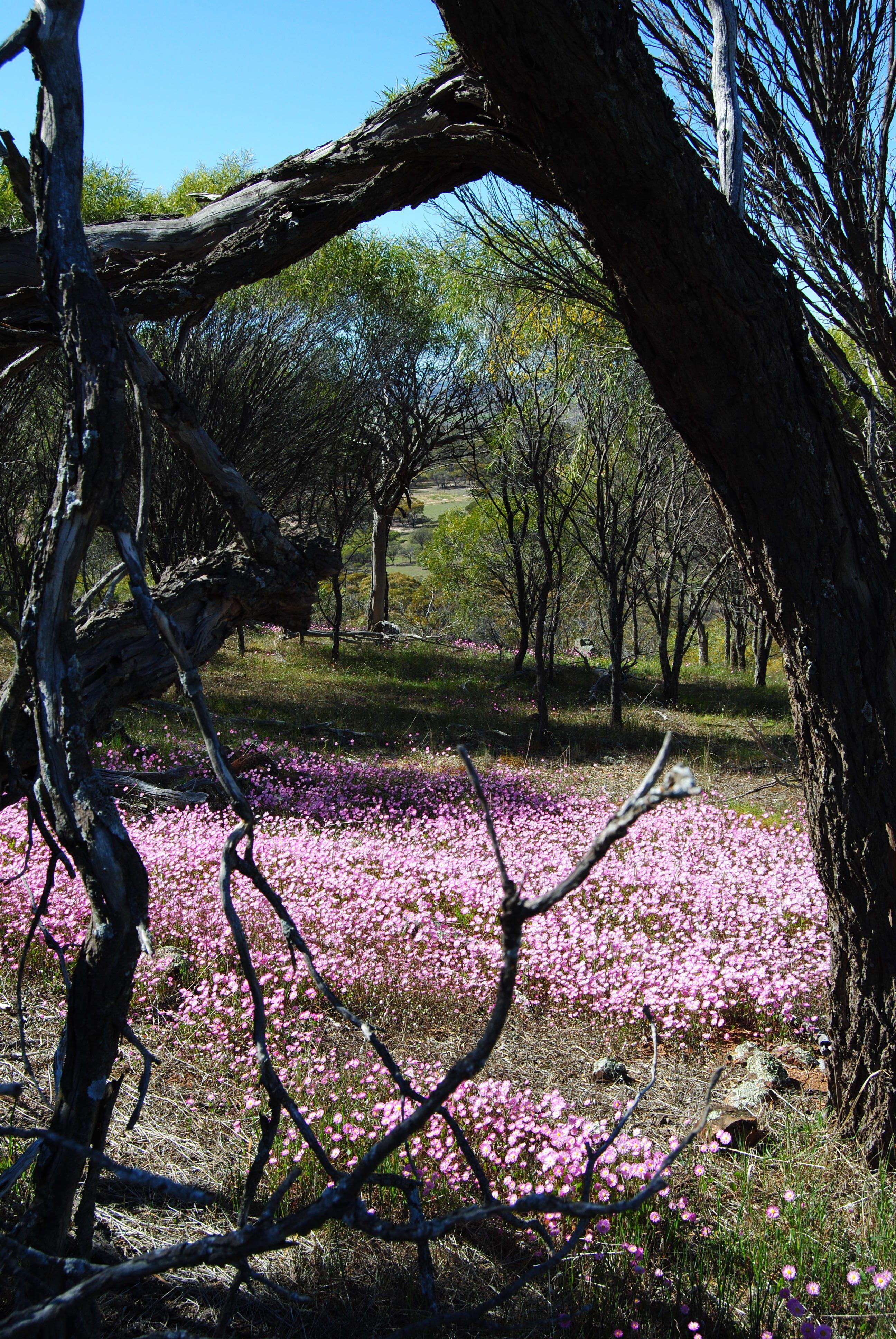 pink everlastings wildflower season wheat belt western australia