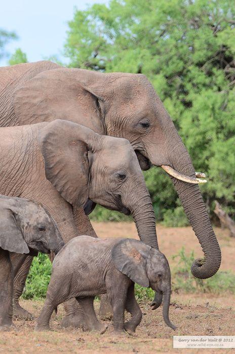 Famille D Elephants Les Bebes Et Leurs Mamans Animaux