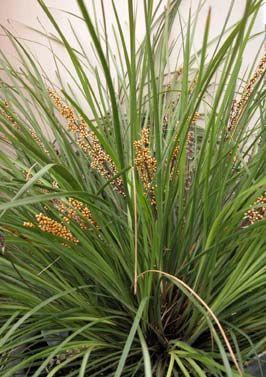 Lomandra Longifolia Breeze Mat Rush With Images Fall Plants Monrovia Plants Winter Plants