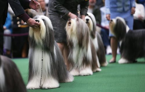 Such Hipsters Bearded Collies Compete In The 137th Westminster