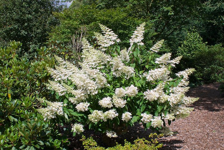 peegee hydrangea shrub hydrangea paniculata 39 grandiflora. Black Bedroom Furniture Sets. Home Design Ideas
