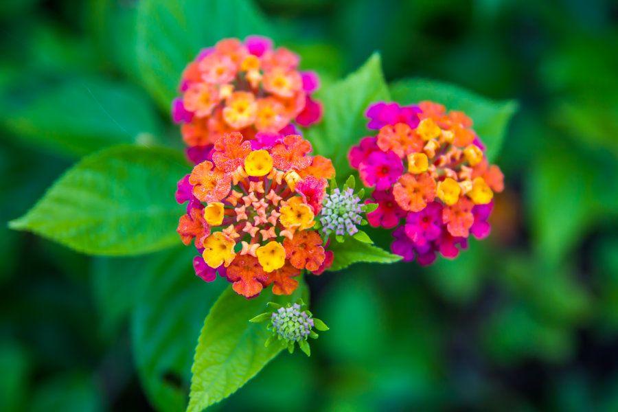 Lantana Camara By Drwhang Deviantart Com On Deviantart Lantana Camara Lantana Flower Garden