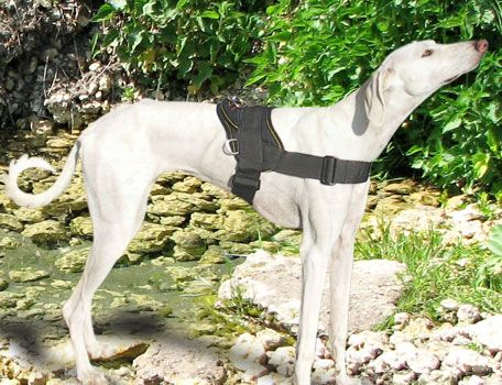 d64c3cf41bdc90a7a183ce14299369f4 nylon pulling gazelle hound harness greyt ideas pinterest