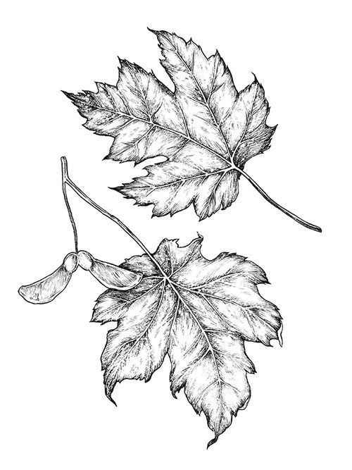 "milk-paws: "" A pair of maple leaf illustrations from a recently completed a series of botanical illustrations for Lululemon's Carrefour Laval location. The project was a collaboration with designer..."