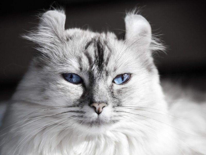 American Curl Katze Runde Ohren Und Verspielter Charakter