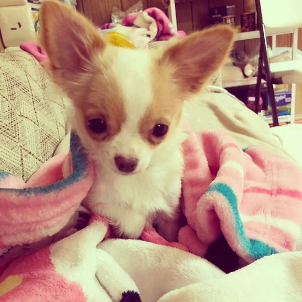 Pin By Kathleen Crossman On Chihuahua Chihuahua Toy Dog Breeds