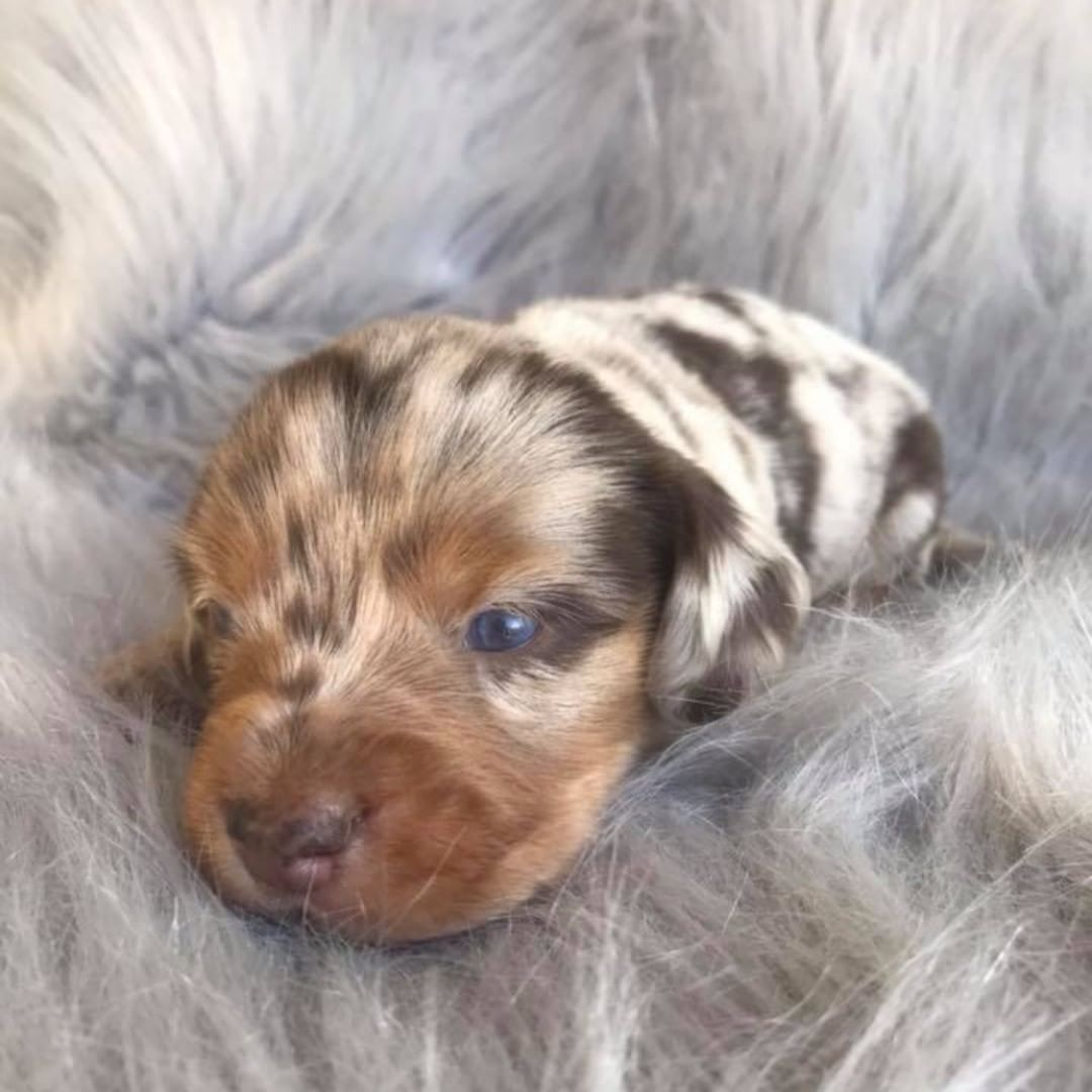 Stewie The Longhaired Dapple Dachshund Puppy 3 Weeks Old