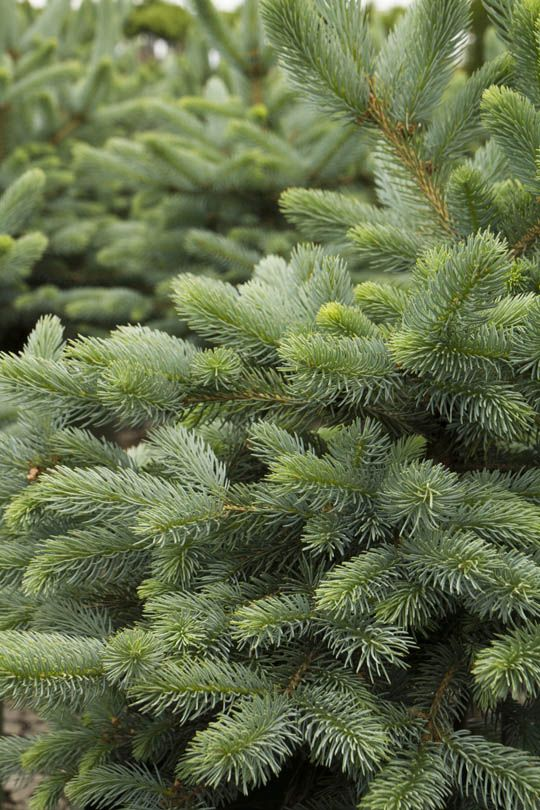 Baby Blue Eyes Spruce Slower Growing Than The Native Colorado Spruce This Semi Dwarf Selection Is Useful For Small Plants Monrovia Plants Live Christmas Trees