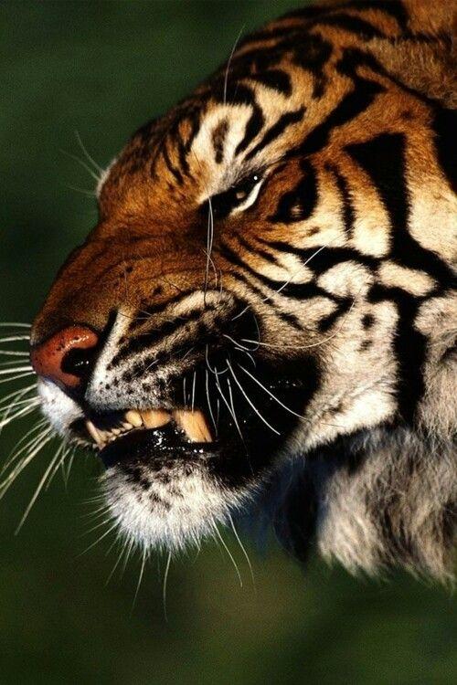 tiger animal wild felinos pinterest imagens de desenhos