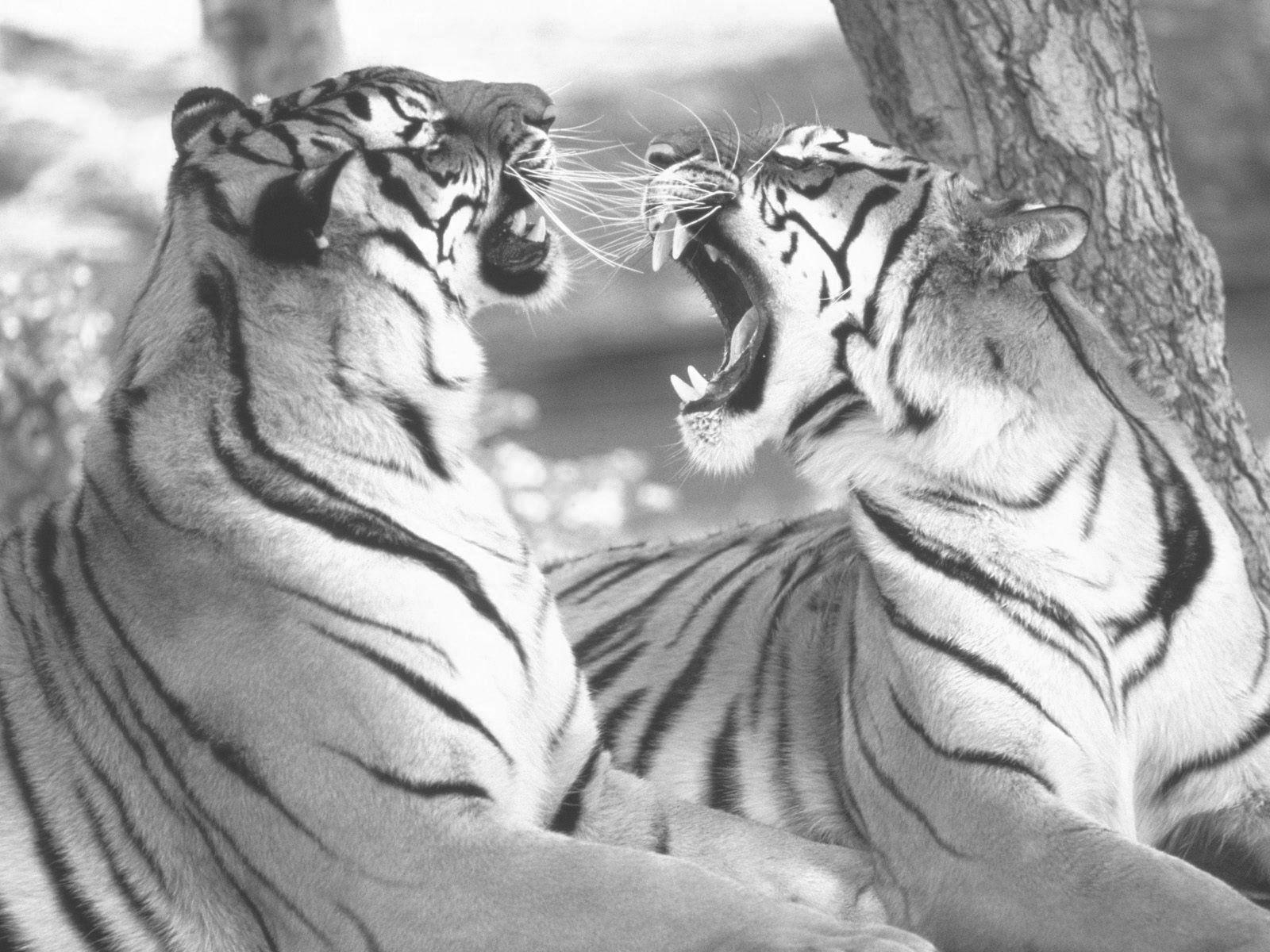 Kleurplaat Tijger Grote Katten Wilde Katten Dieren