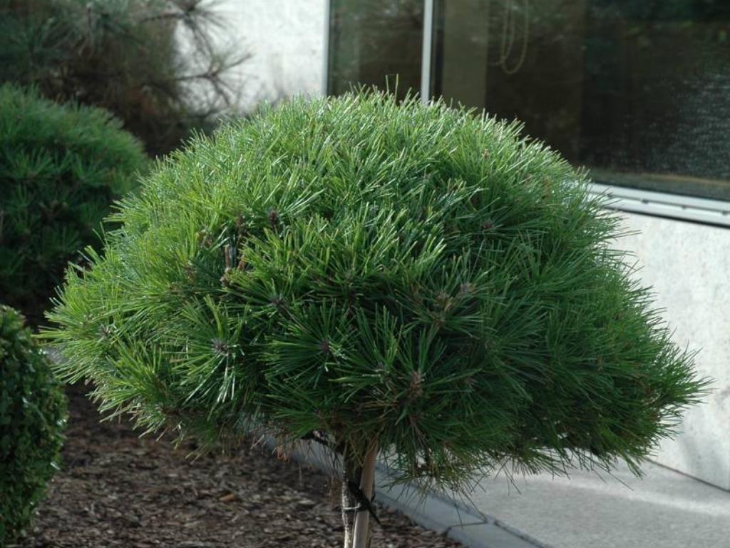 Pinus densiflora 'Jane Kluis' - Sosna gęstokwiatowa 'Jane Kluis