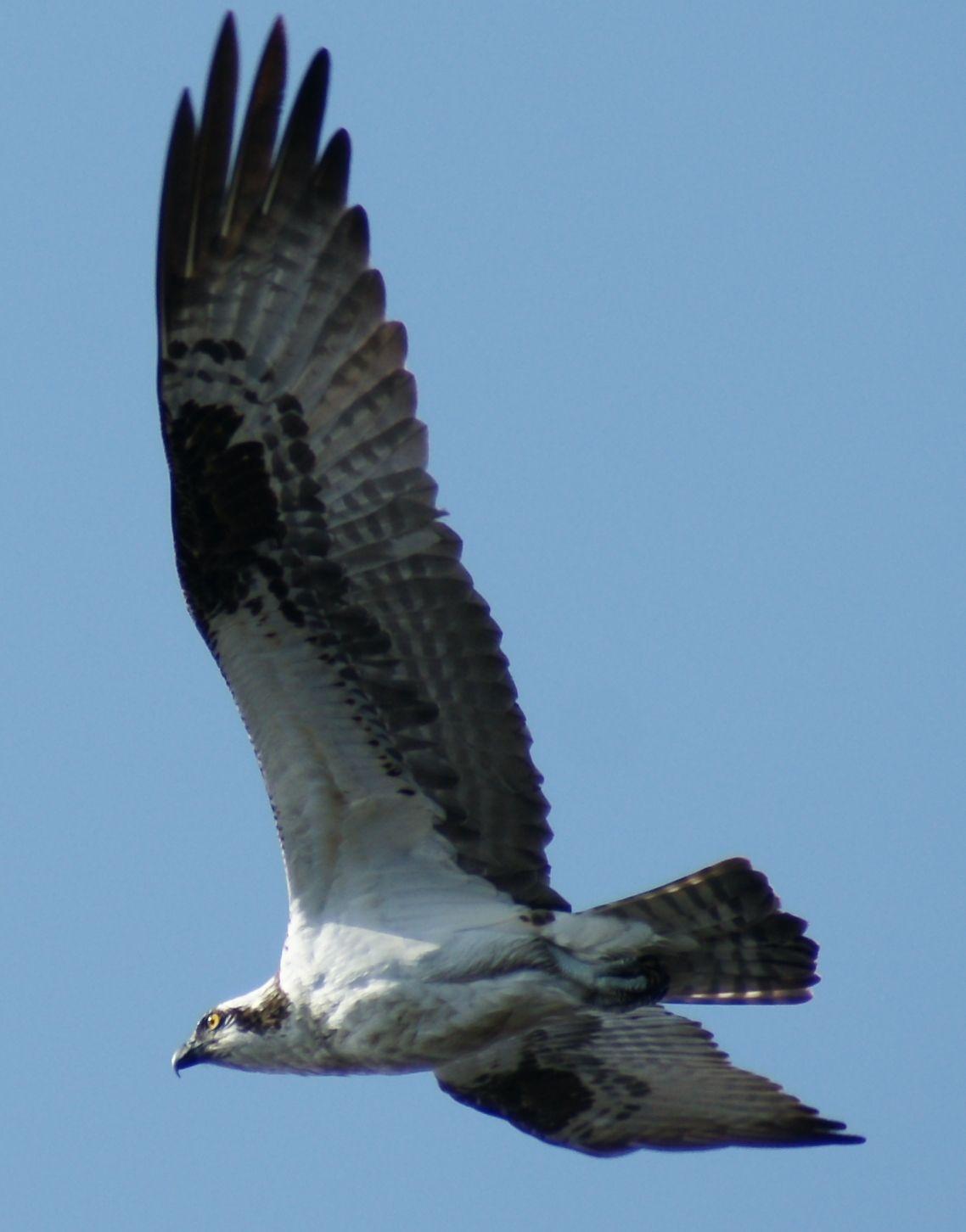 Balbuzard #oiseau #faune #maraisdunord #randonnée #quebec #stoneham  Crédit photo: Mélanie Deslongchamps