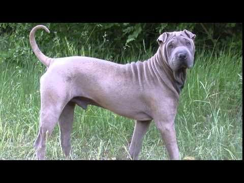 Chinese Shar Pei Great Dane Mix Youtube Dog Breeds Chinese