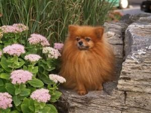 Kacy Purebred Pomeranian Is An Adoptable Pomeranian Dog In