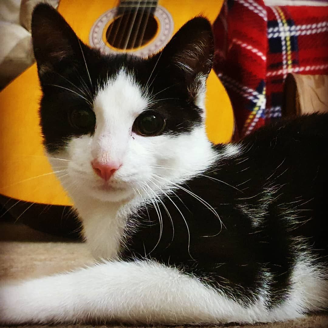 Guitar Backdrop Cats Kitten Kittens Kittensofinstagram Pets Picoftheday Cuddles Music Sound Song Guitar Gui In 2020 Cat S Pets Kitten