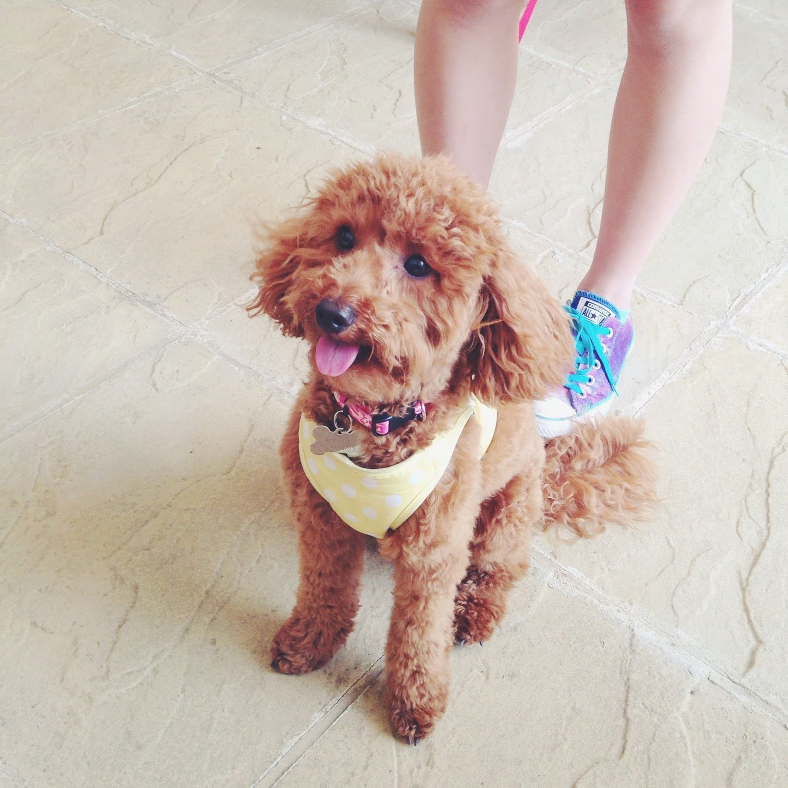 Miniature Poodle Toy Poodle Miniature Poodle Haircut Poodle Haircut Poodle Haircut Dog Haircuts Toy Poodle