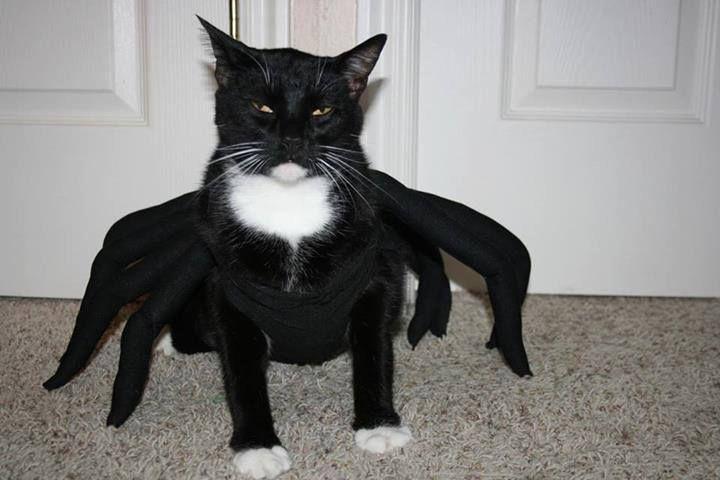 Image result for Spider Cat Costume
