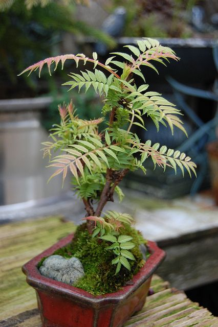 Sorbaria sorbifolia 'Sem' by FarOutFlora, via Flickr