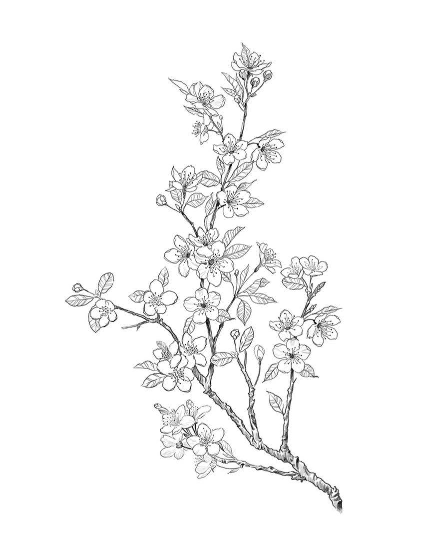 Cherry Blossom Tree Black And White: #cherryblossomtattoo #sketch
