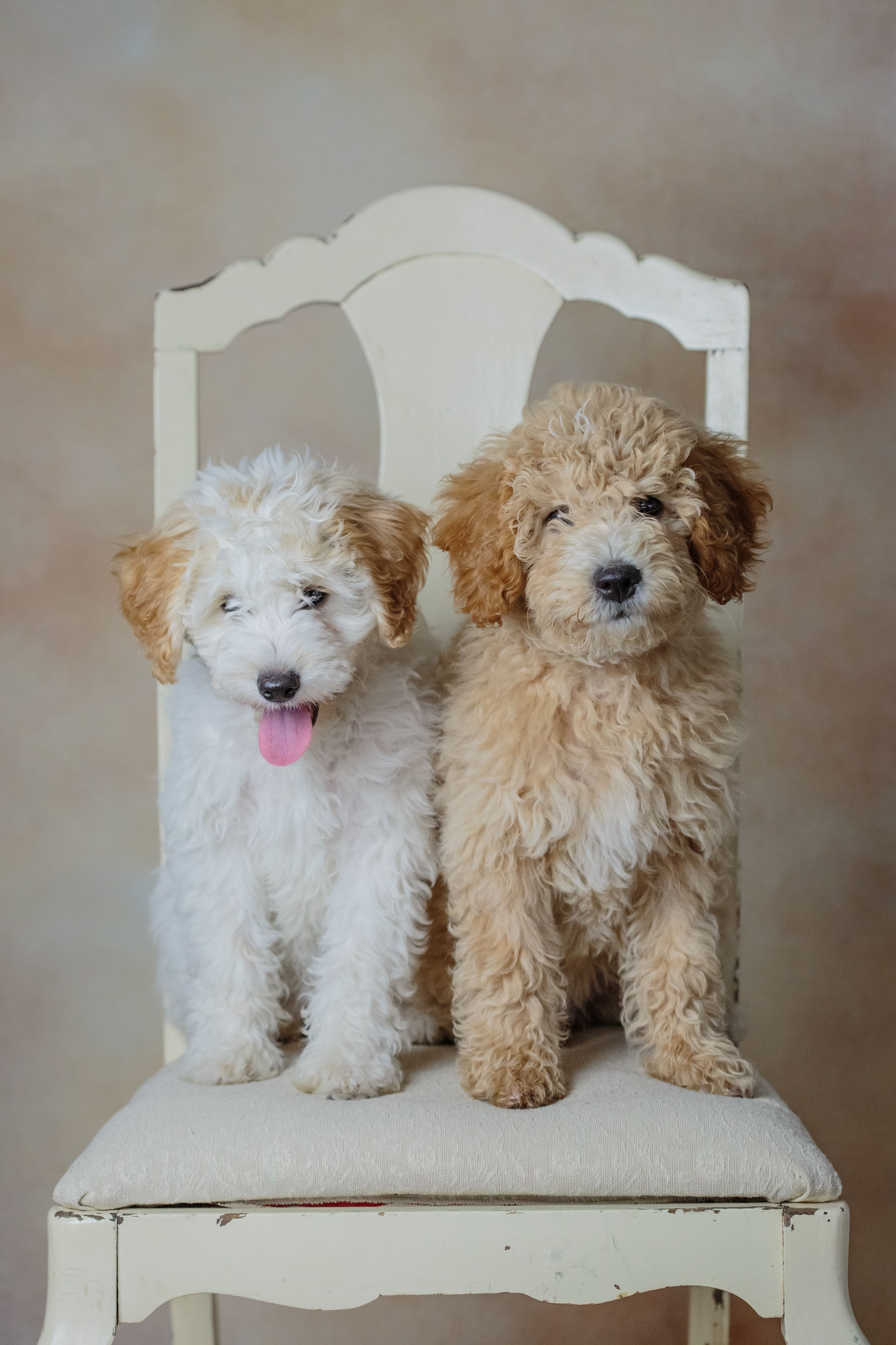 Mini Goldendoodles By Www Beckkennel Com Puppies Cute Dogs