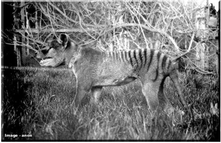 thylacine Google Search in 2020 Thylacine, Tasmanian tiger
