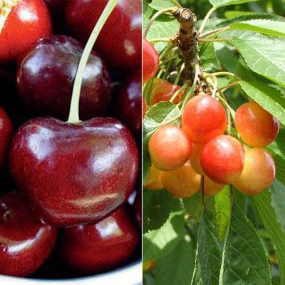 Enjoy Two Kinds Of Cherries From One Tree With A Stark Custom Graft 2 N 1 Cherry Tree This Tree Bears Both Sweet Van Cherries And S Fruit Trees Fruit Garden Green Fruit