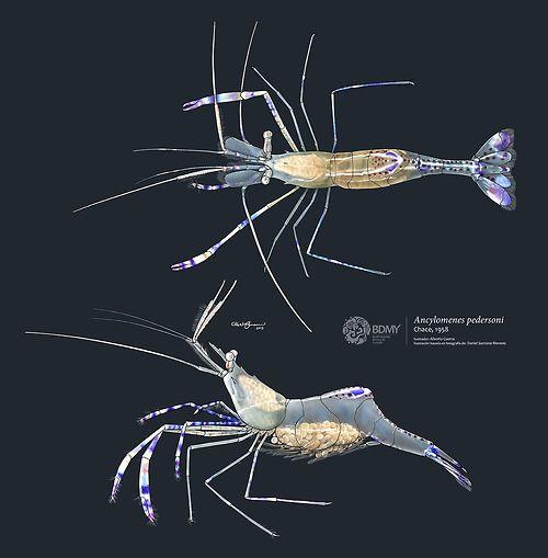 Scientific Illustration Albertoguerra Pederson Cleaner Shrimp Scientific Illustration Nature Illustration Marine Art