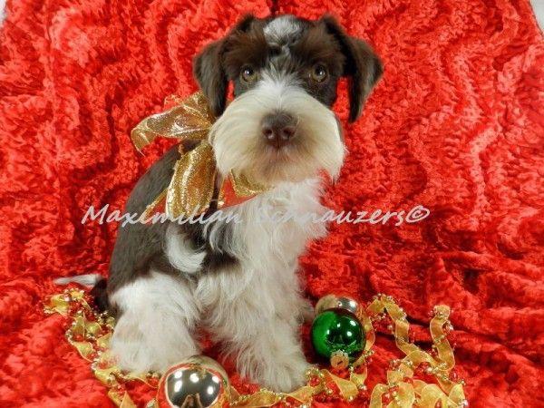 Miniature Schnauzer Puppies For Sale Miniature Schnauzer Puppies