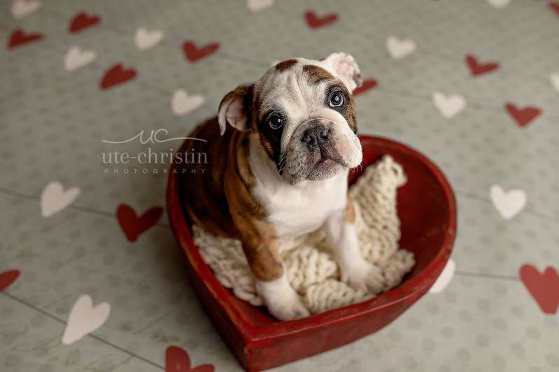 A Dog Sitting On A Table Newborn Puppy Valentine S Shoot In 2020