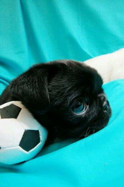 Pin by beaver1969 Tanya Prichard on Getting A New Pug
