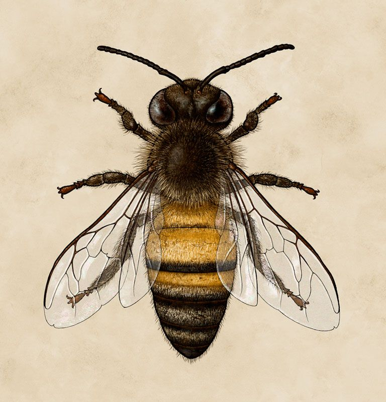 Bee Honey Bee Scientific Illustration Biology Insect Bees