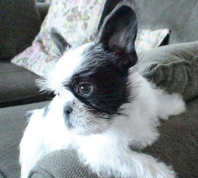 French Bulldog / Shih Tzu mix (French Bull Tzu) | Animals + Pets