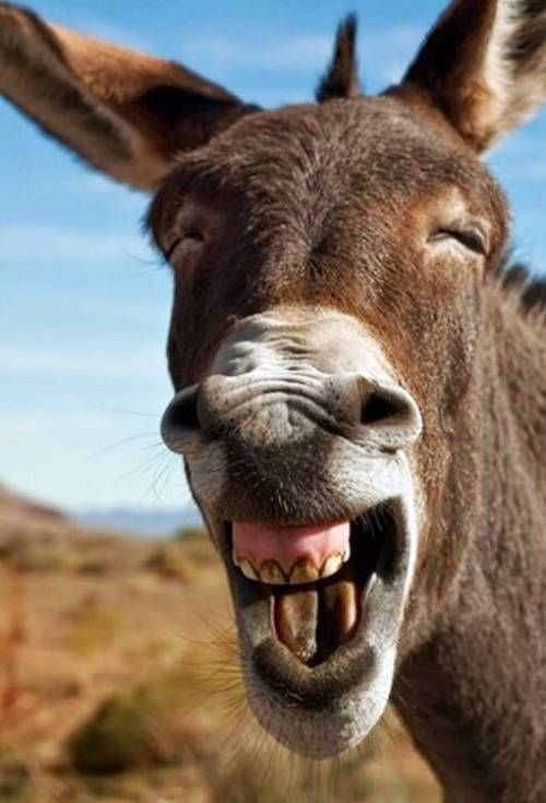Image result for donkey showing his teeth