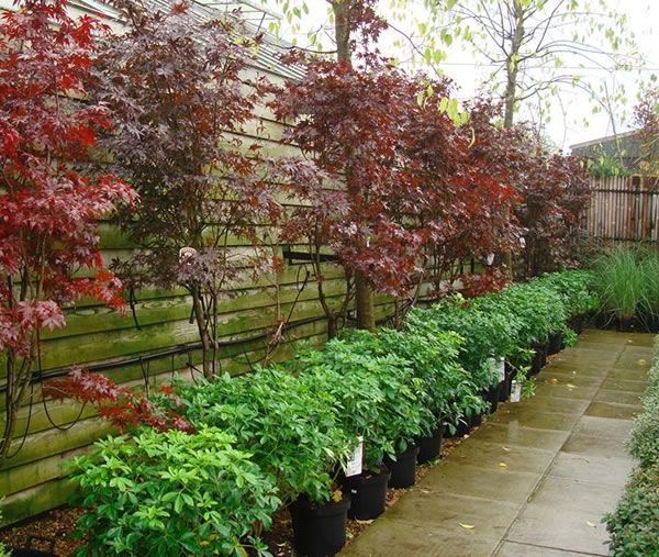 Small Trees For Borders: Underplanting Japanese Maples - Bing Images