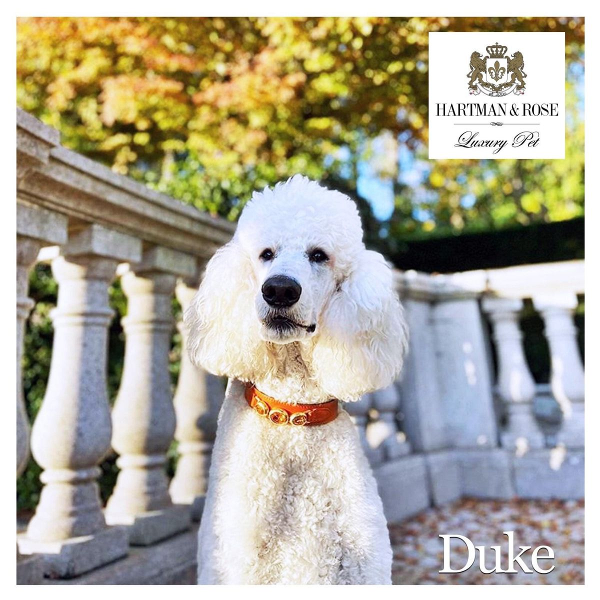 Worlds Finest Collection of Dog Collars, Leads & More... SAVE 40% promo code: ROSEBUD. www.hartmanandrose.com Duke the stunning White Standard Poodle resides in Sydney, Australia and is wearing the Regency collar in Tangarine @duke_thepoodle. #hartmanandrose @hartmanandrose